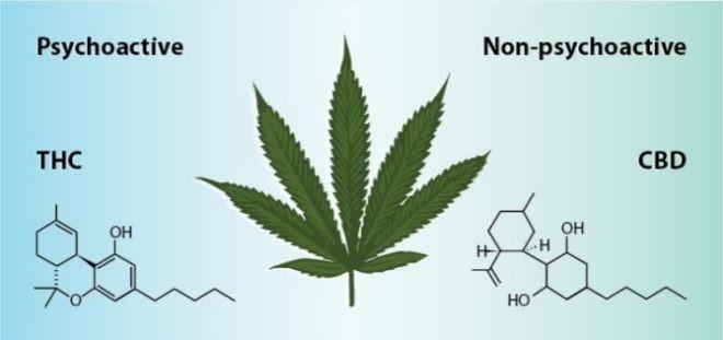Cannabis  THC e CBD