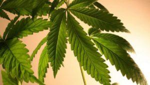 Cannabis terapy e cancro al seno